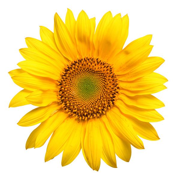 Sunflower[1]